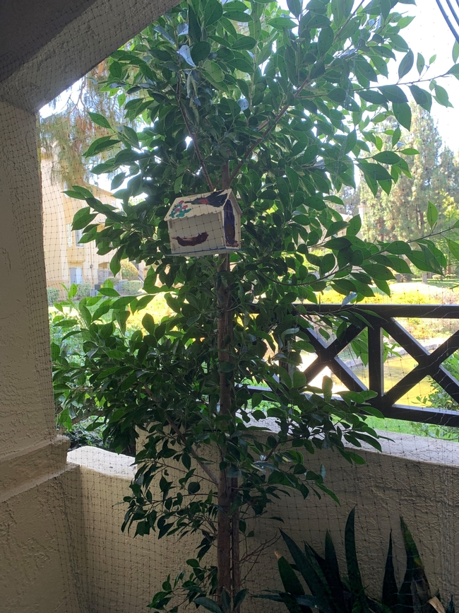 Ficus-David Pearling