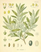 olive-06-l 16152729