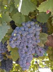 Corvina Veronese: Origin,NE Italy w/ pepperiness,high tannin, dark violet-scented wines.