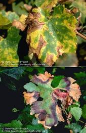 PD symptoms on white (top) and red varieties.