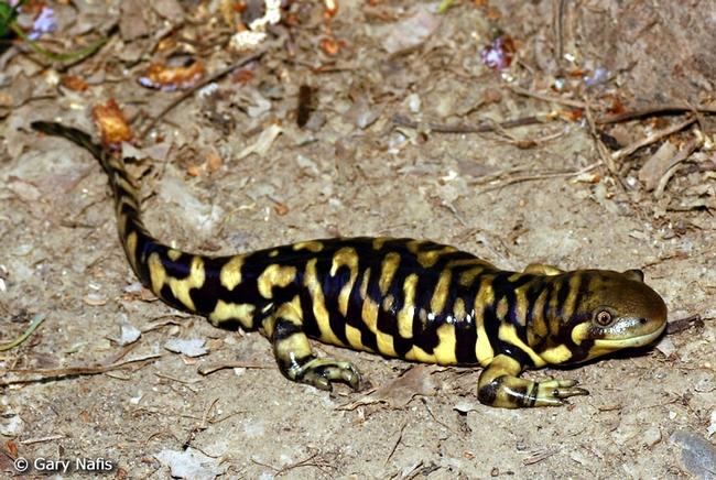 9 Tiger Salamander (Ambystoma californiense), CaliforniaHerps.com