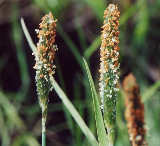 Sonoma Alopecurus (Alopecurus aequalis var. sonomensis), UC Berkeley