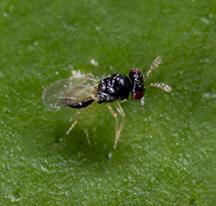 tamarixia radiata male cisr mike lewis