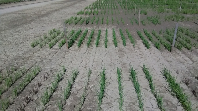 Rice at 30 days after seeding, treated with Harbinger (pendimethalin) as a pre-emergent herbicide