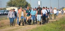 Participants head to the field to view plots (2016). Photo by Dana Dickey for UC Rice Blog Blog