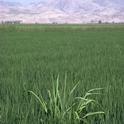 Infestation of barnyardgrass, Echinochloa crus-galli, in a rice paddy. Photo credit: Jack Kelly Clark (http://ipm.ucanr.edu/PMG/E/W-GM-ECRU-IF.002.html)