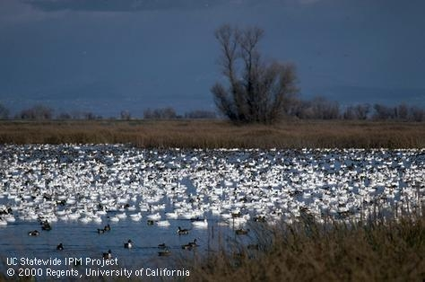 Snow geese and ducks on a flooded rice field in winter