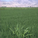 Weedy rice in a rice field in California.
