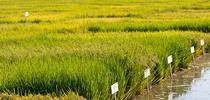 Rice trials at the Rice Experiment Station, Butte County. for UC Rice Blog Blog