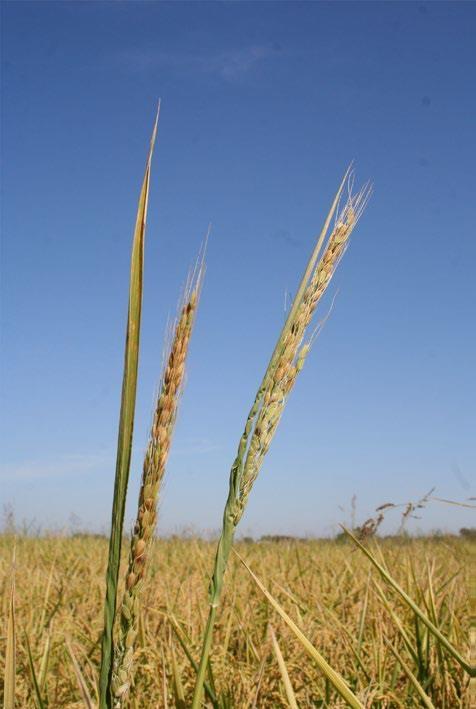 Weedy rice Type 3 (photo credit: Luis Espino)