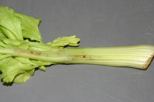 Figure 2. Developing lesions on celery stem after lygus bug feeding.