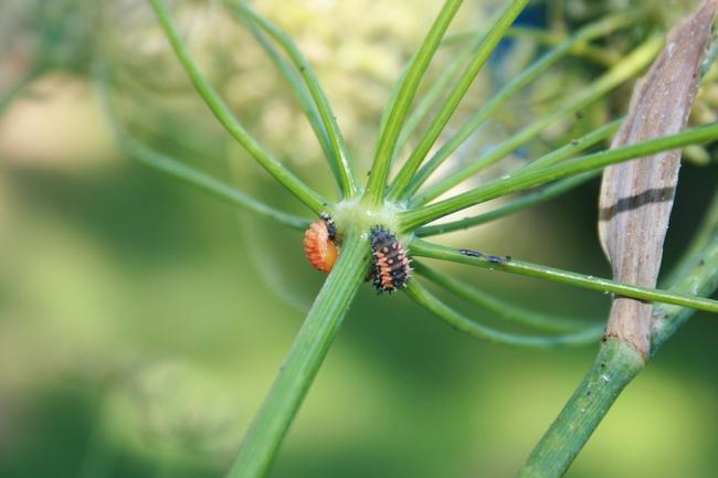 Fennel Larvae Pupa