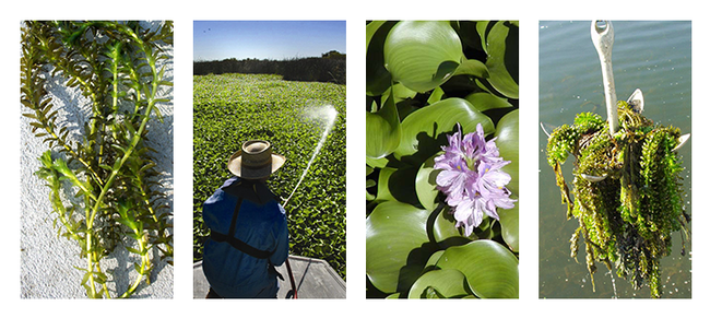 Shiny green leaves and purple flowers of water hyacinth. Weed control program.
