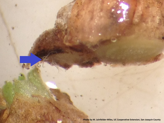 Stem nematodes emerging from alfalfa stem under dissecting microscope.