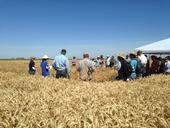 June 5, 2018 Small Grains and Soil Health Meeting on Staten Island in San Joaquin County. Photo courtesy of Mark Lundy.