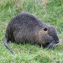 Figure. 1. Nutria. Photo courtesy of Joyce Gross (UC Berkeley) and the CA Department of Fish and Wildlife (https://www.wildlife.ca.gov/Conservation/Invasives/Species/Nutria).
