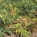 Figure 1. Garbanzo leaf yellowing and necrosis indicative of Fusarium wilt.