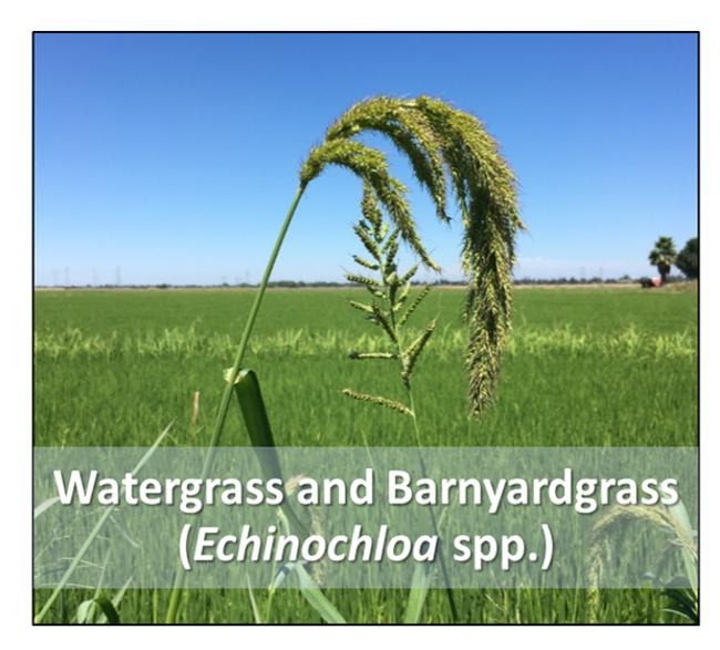 2021-1-28 Rice herbicide figure 1