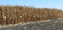 UCCE Delta field corn variety trial for SJC and Delta Field Crops Blog
