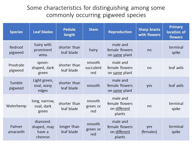 Pigweed ID Characteristics