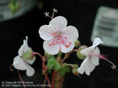 Geranium catbrigiense is a pale pink hardy geranium.  People confuse Pelargoniums, such as ivy geraniums and Martha Washington geraniums as true geraniums. They are not.  The true geraniums are also known as hardy geraniums and are typically low growing, vigorous plants and cold hardy in pastel pinks and blues.  There are one or two hardy geraniums that are rather invasive in the garden.