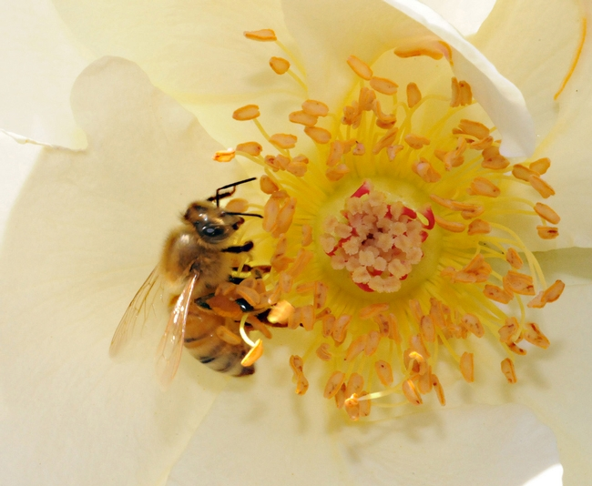 honeybeeonrose