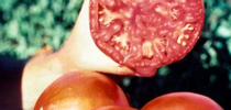 tomato Extravaganza 2014 for UC Master Gardeners- Diggin' it in SLO Blog