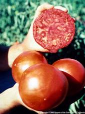 tomato Extravaganza 2014