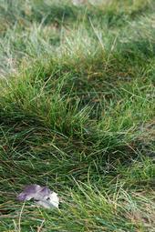 No Mow Fescue Grass