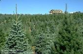 Christmas Tree Farm UC