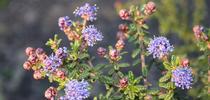 dark star ceanothus for UC Master Gardeners- Diggin' it in SLO Blog