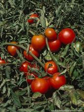 Tomatoes 027