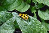 cucumer beetle
