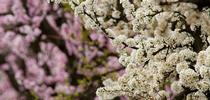KARECPeachAlmondBloom 51 for UC Master Gardeners- Diggin' it in SLO Blog