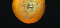 Citrus Brown Rot for UC Master Gardeners- Diggin' it in SLO Blog