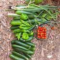Veg Garden Tribune