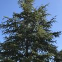 Redwood tree 2
