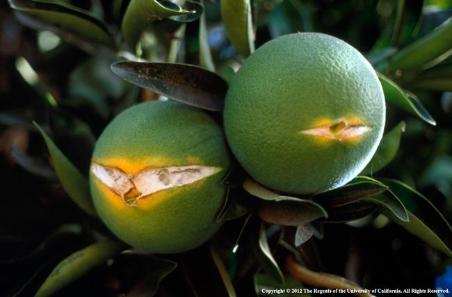 fruit split