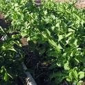 Fava Bean Cover Crop