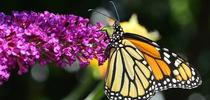 Buddleia 2 for UC Master Gardeners- Diggin' it in SLO Blog