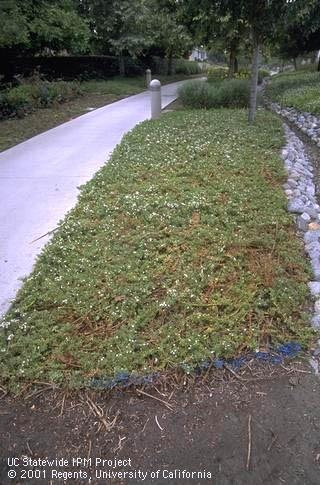 Myoporum ground cover