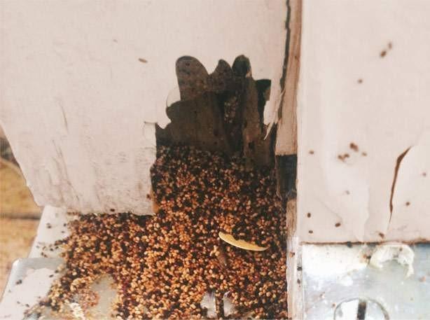Western Drywood Termites Uc Master Gardeners Diggin It
