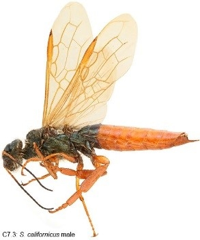 Horntail wasp3