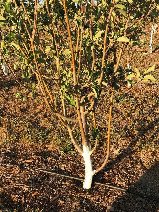 pruning apple tree 2