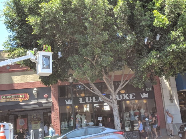 Dr. David Headrick elevated into tree canopy placing mesh cages around infested branches of ficus tree on Higher Street, downtown SLO. for UC Master Gardeners- Diggin' it in SLO Blog