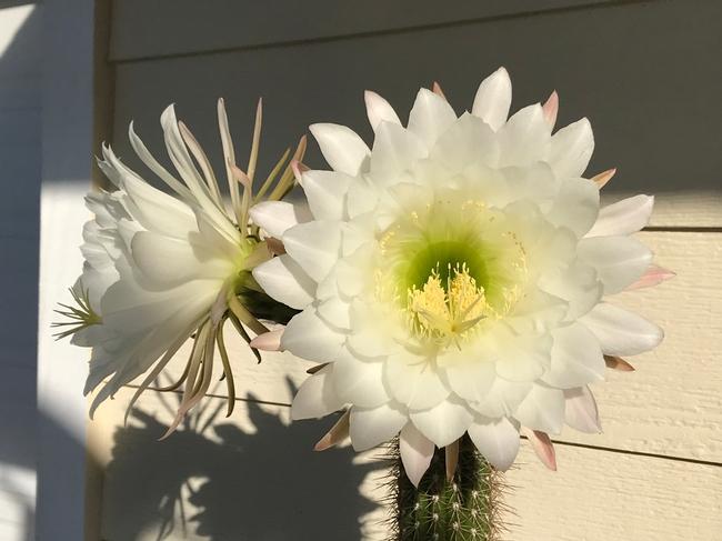 cereus cactus 2