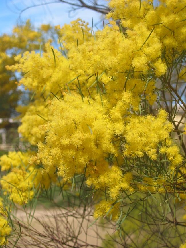 Acacia boormanii