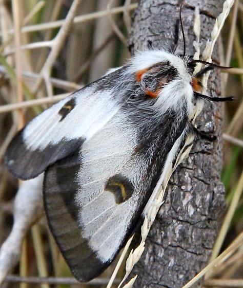 Nevada buck moth adult