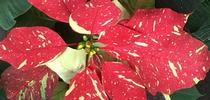 Poinsettia for UC Master Gardeners- Diggin' it in SLO Blog