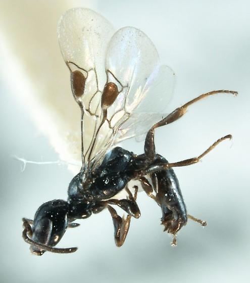 Ammoplanines wasp